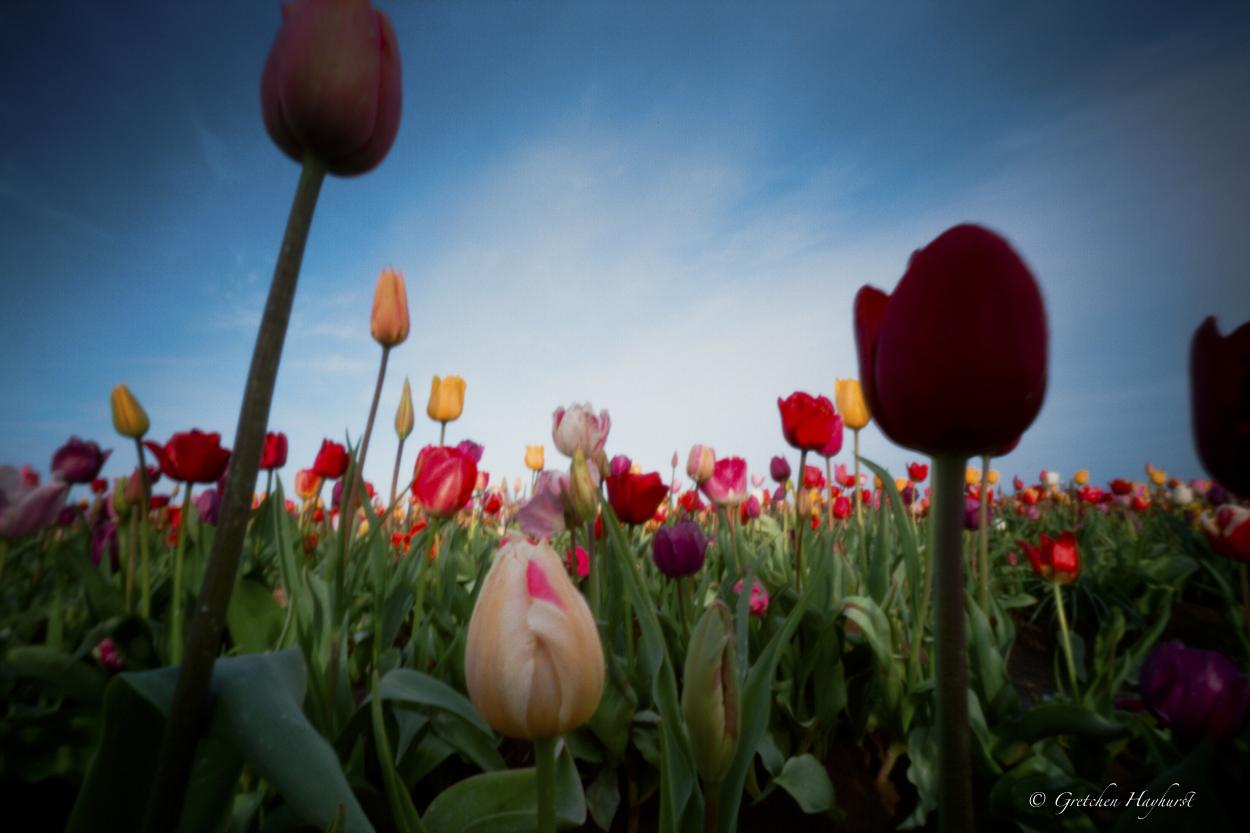 tulipsPinhole Photography GretchenHayhurst, Madeon23rd blog