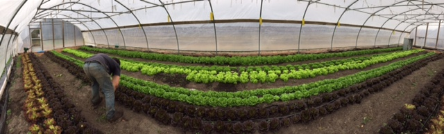 Panoramic view of the low tunnel planted with lettuce