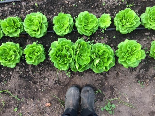 Big, beautiful heads of butterhead lettuce ready to harvest!