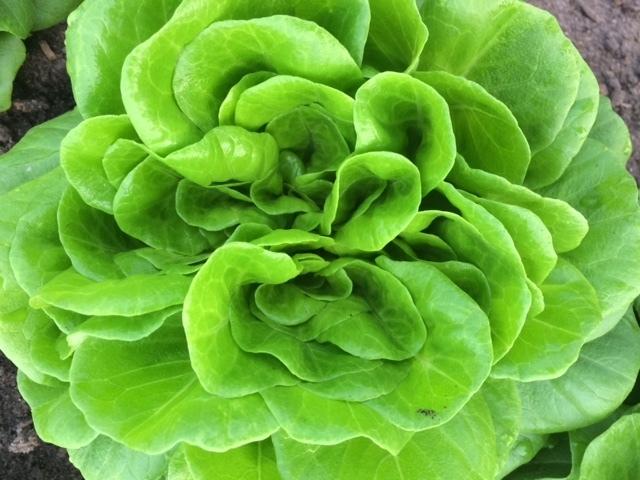 Lettuce rosette