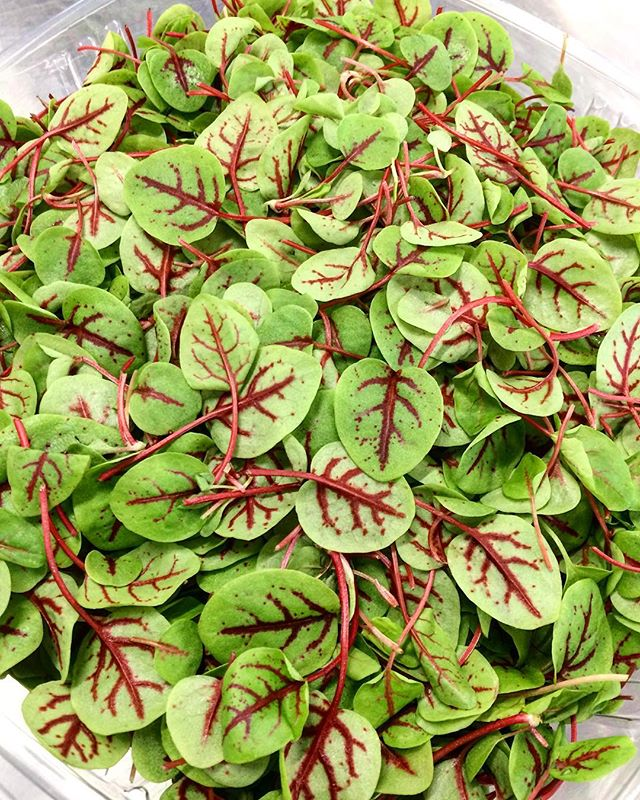 RED-VEINED SORREL (specialty)