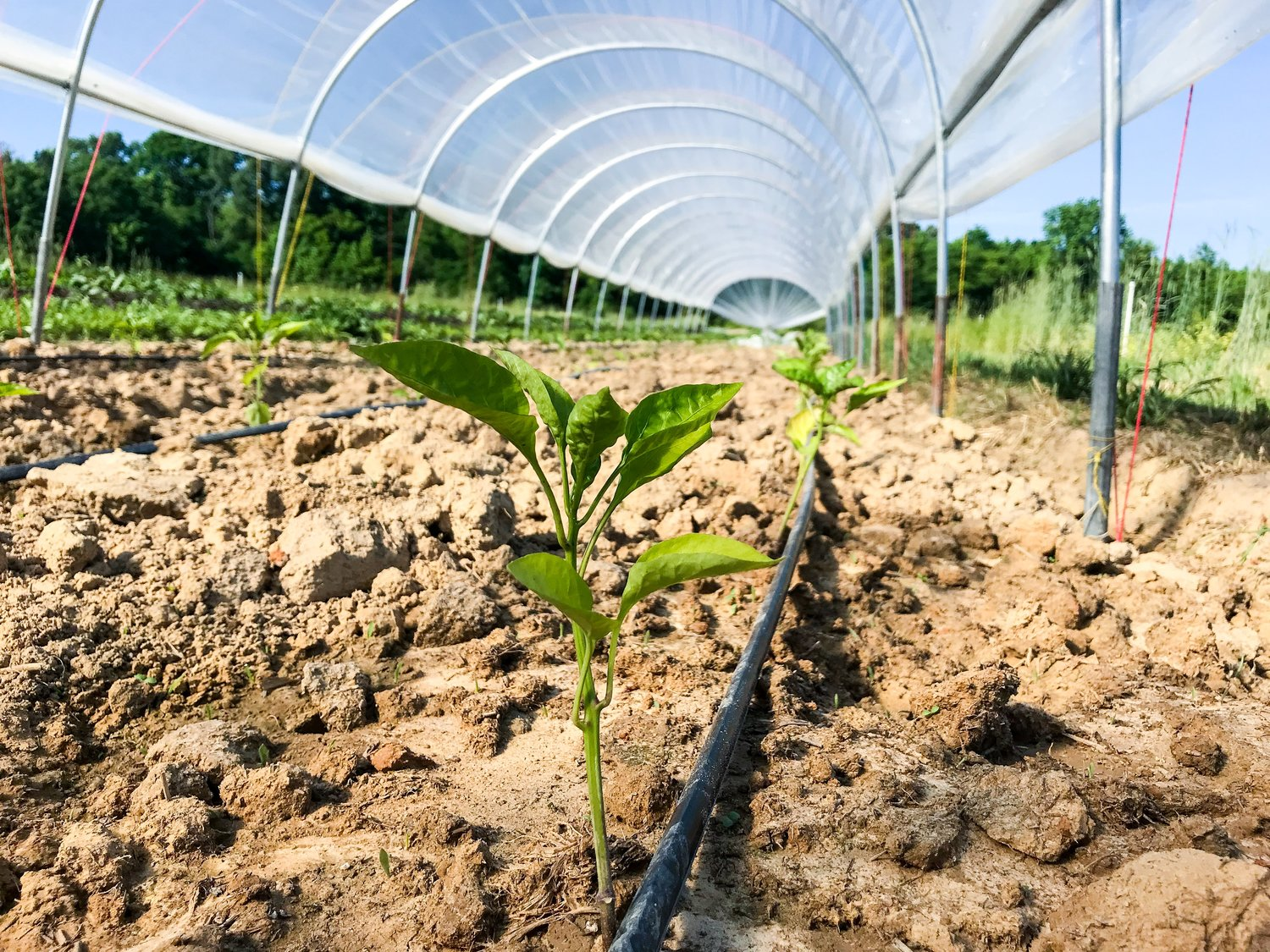 Freshly transplanted pepper plants in our caterpillar tunnel at Tupelo