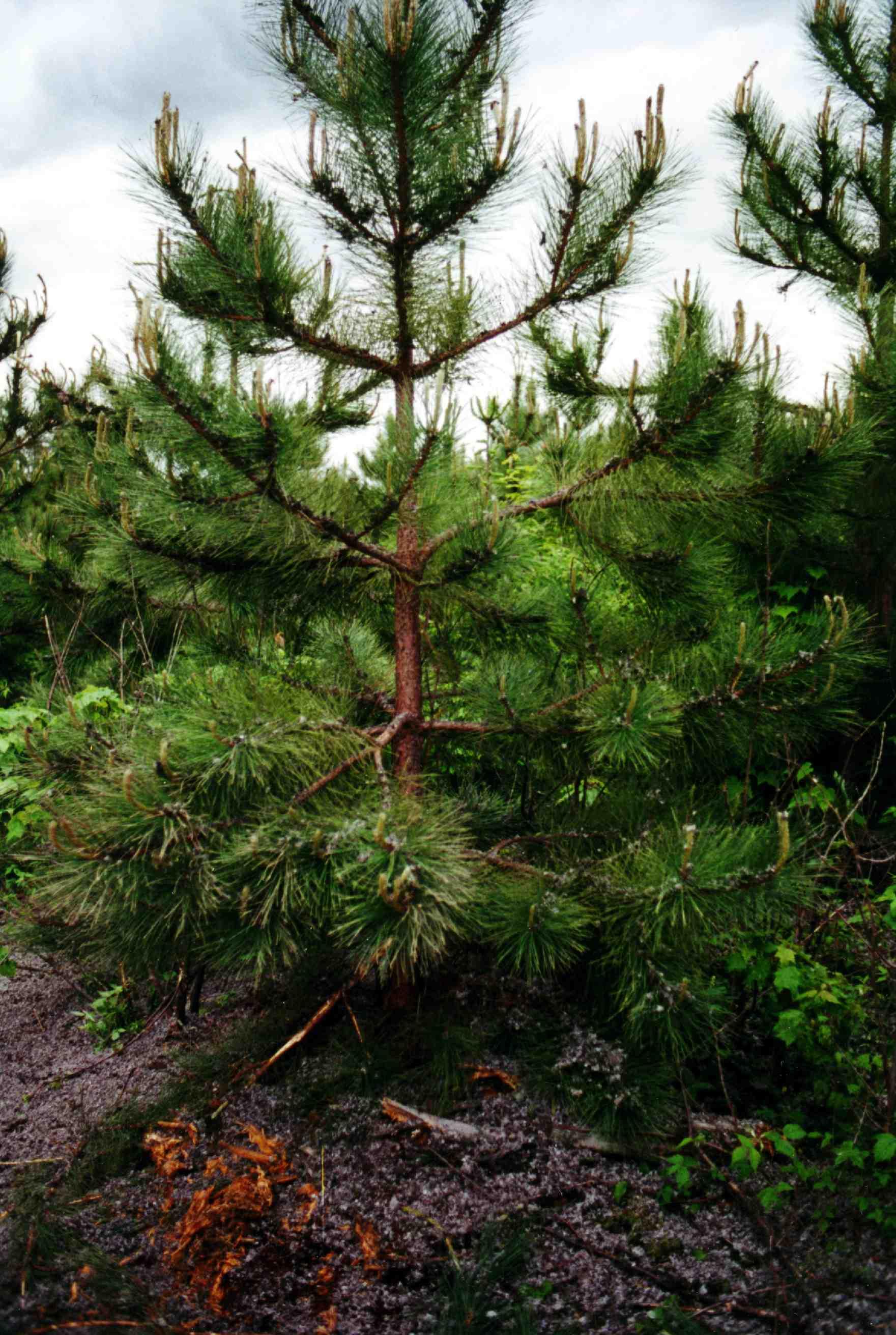 Bulk Class B biosolids applied to a tree farm in Maine.