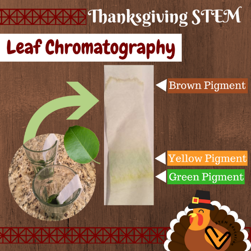 This leaf chromatography science experiment shows what will happen when our green leaves turn colors in the fall.