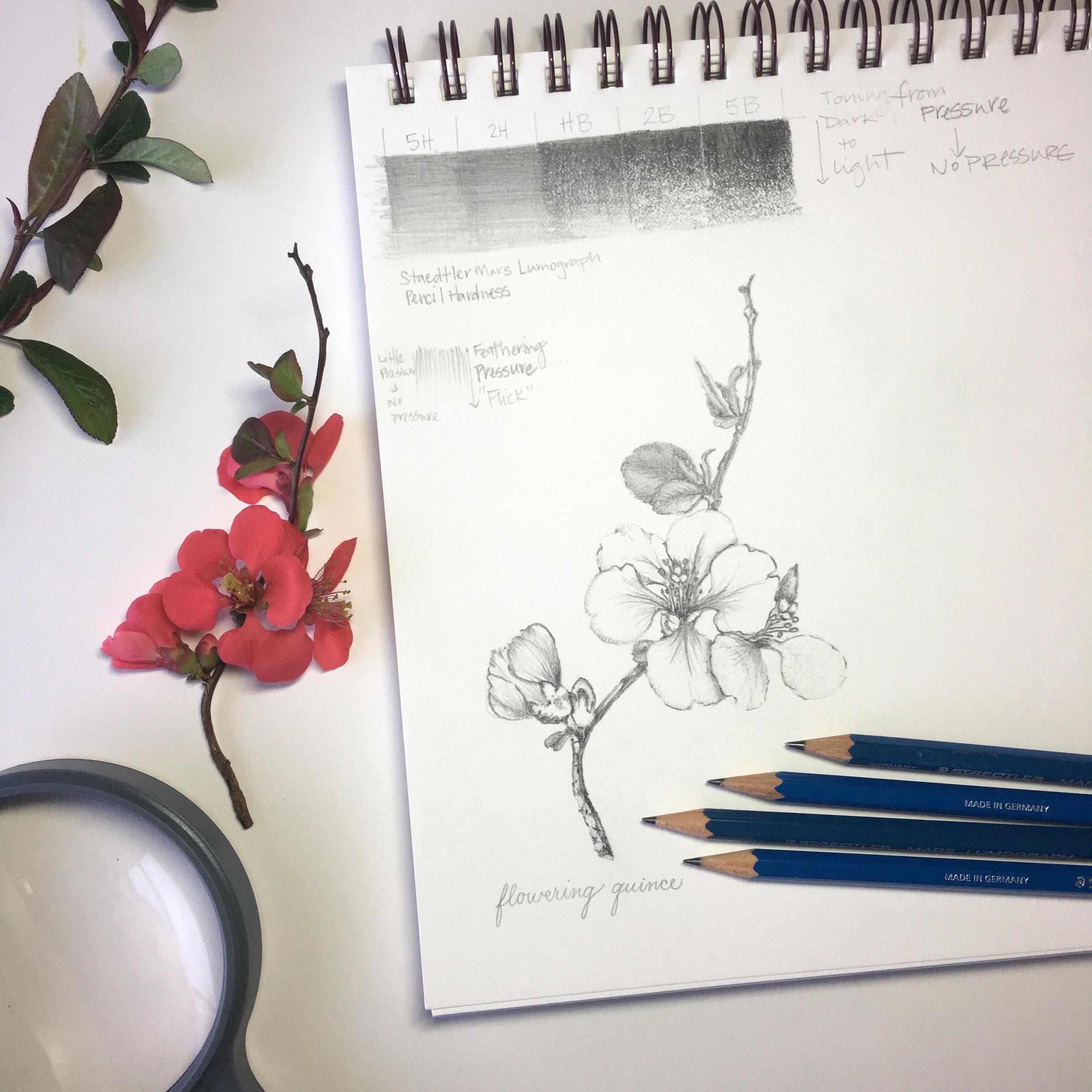 MirandaFuller-BotanicalArt101-floweringquince-Nashville.jpeg