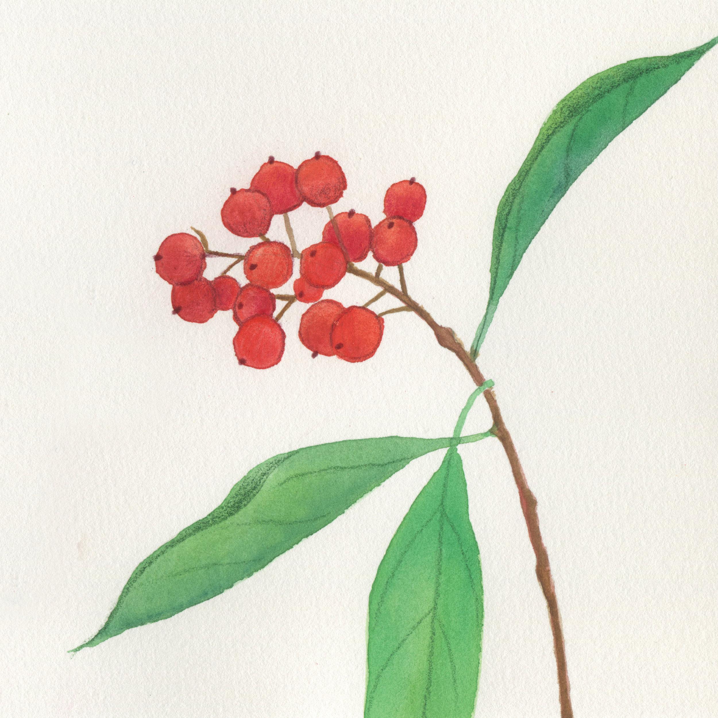 MirandaFuller-BotanicalArt101bittersweet-Nashville.jpg