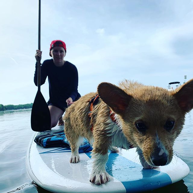 Peaches continued his swimming lessons today from a paddleboard… Hard to tell how he felt about the whole thing 😊  #corgi #corgisofinstagram #lookatthatbutt