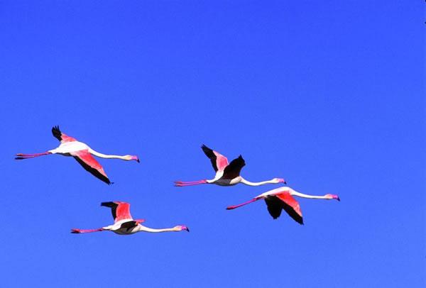 sinis-pink-flamingos.jpg