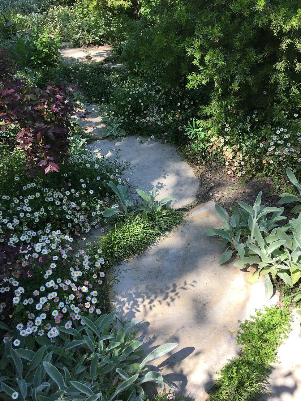 Erigeron Karvinskianis bordering the path