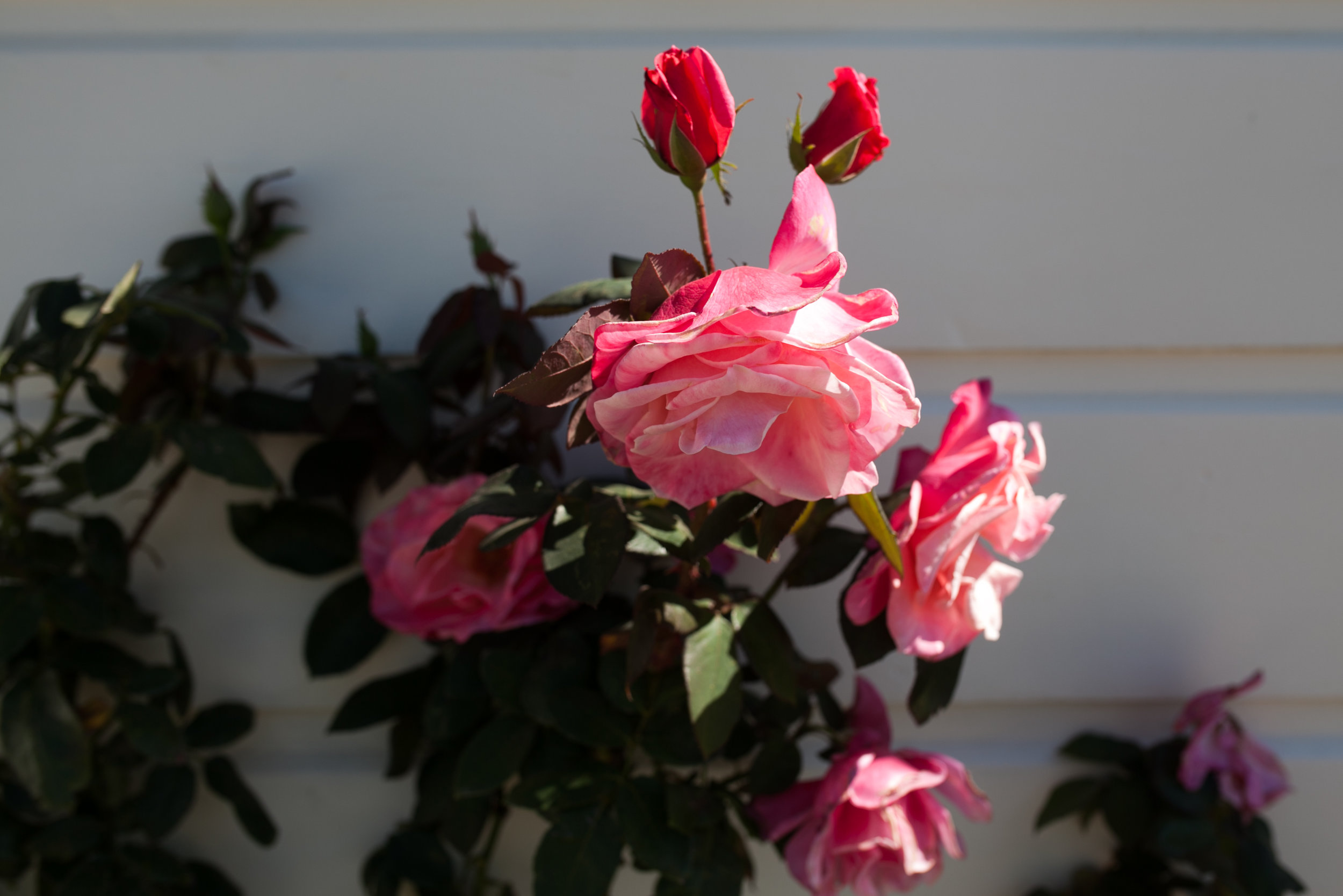 Roses at Point Fermin