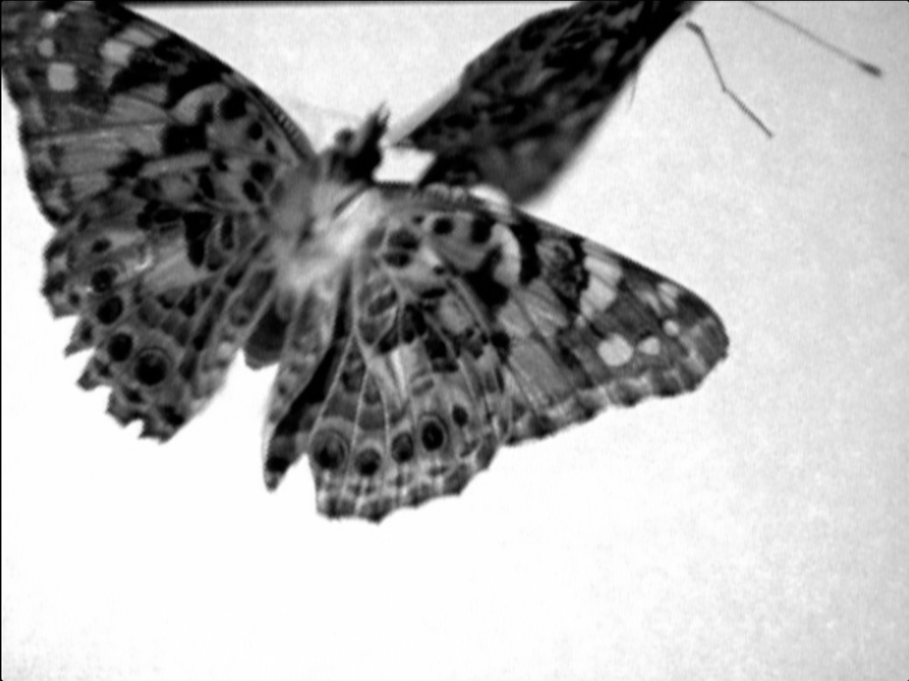 Butterfly6BW.png
