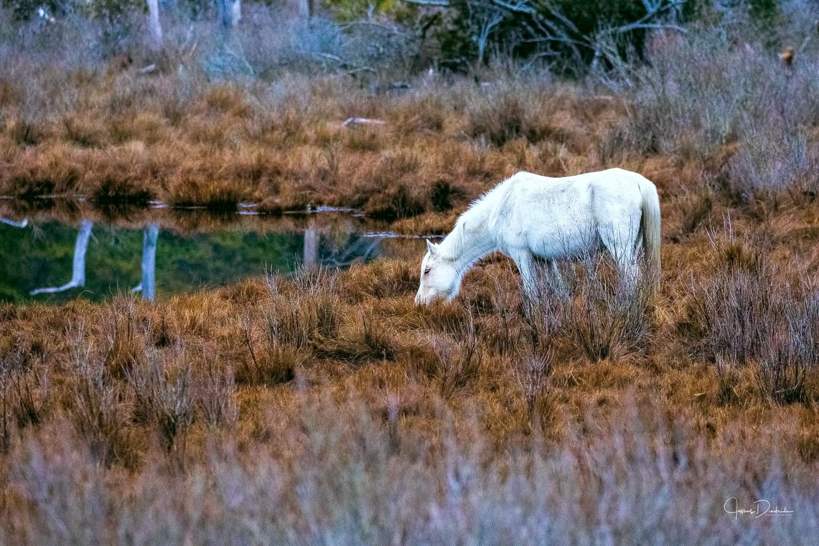 Wild horse on Chincoteague Island, VA