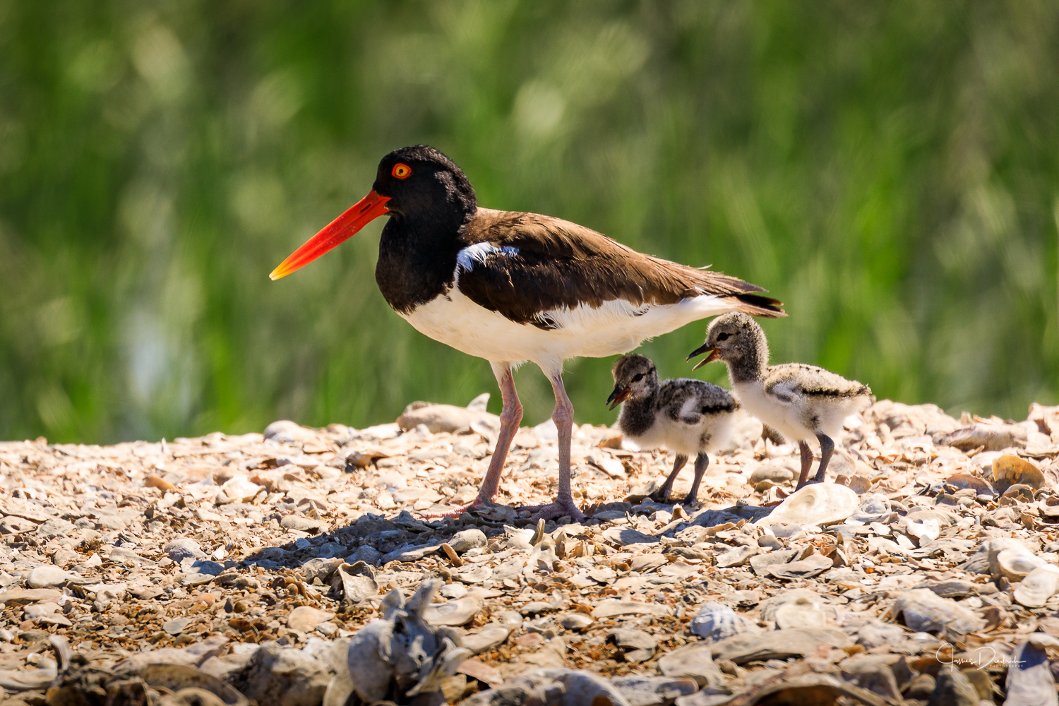 Here is the same Oystercatcher but this time with it's 2 chicks. The chicks are 2 days old.
