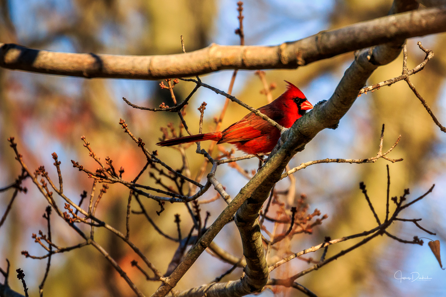 Here is a cardinal observing the feeding station.