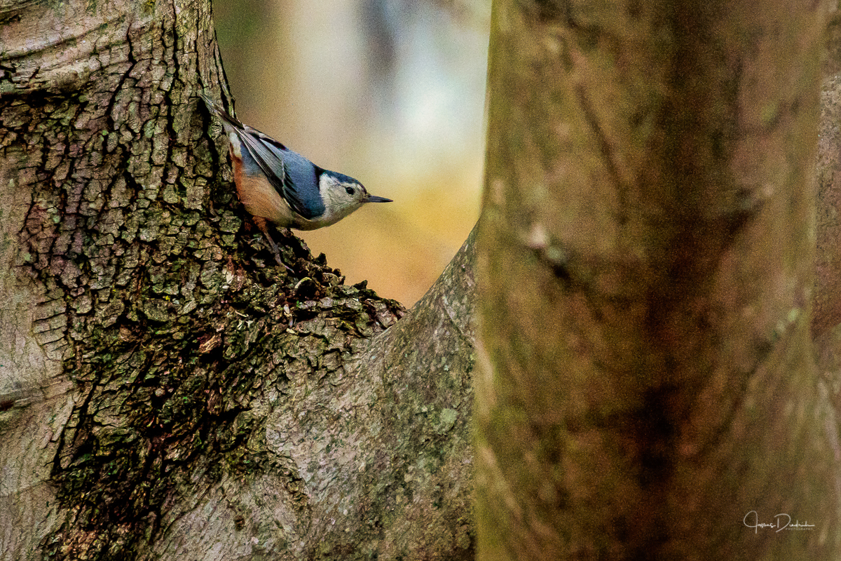 Here is a Nuthatch.
