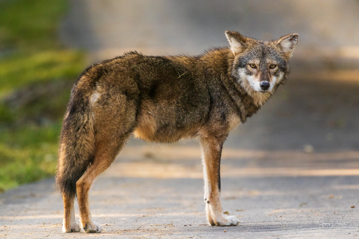 Coyote or Coy Wolf?