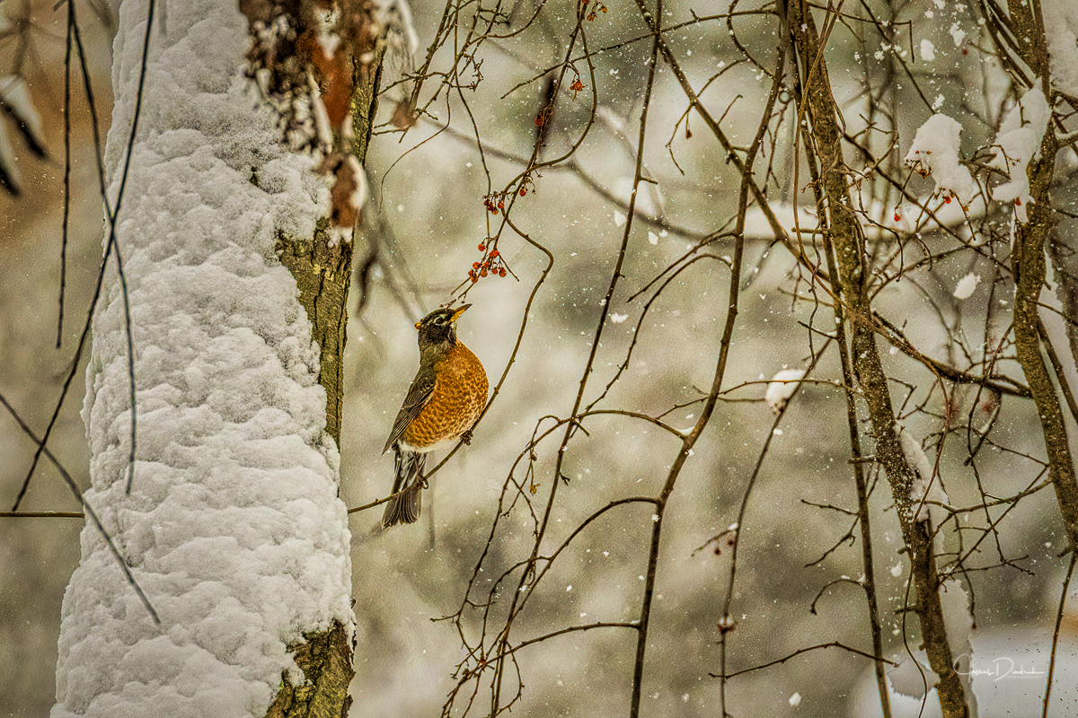 One of the remaining robins in our area eating a few of the berries still on the trees.