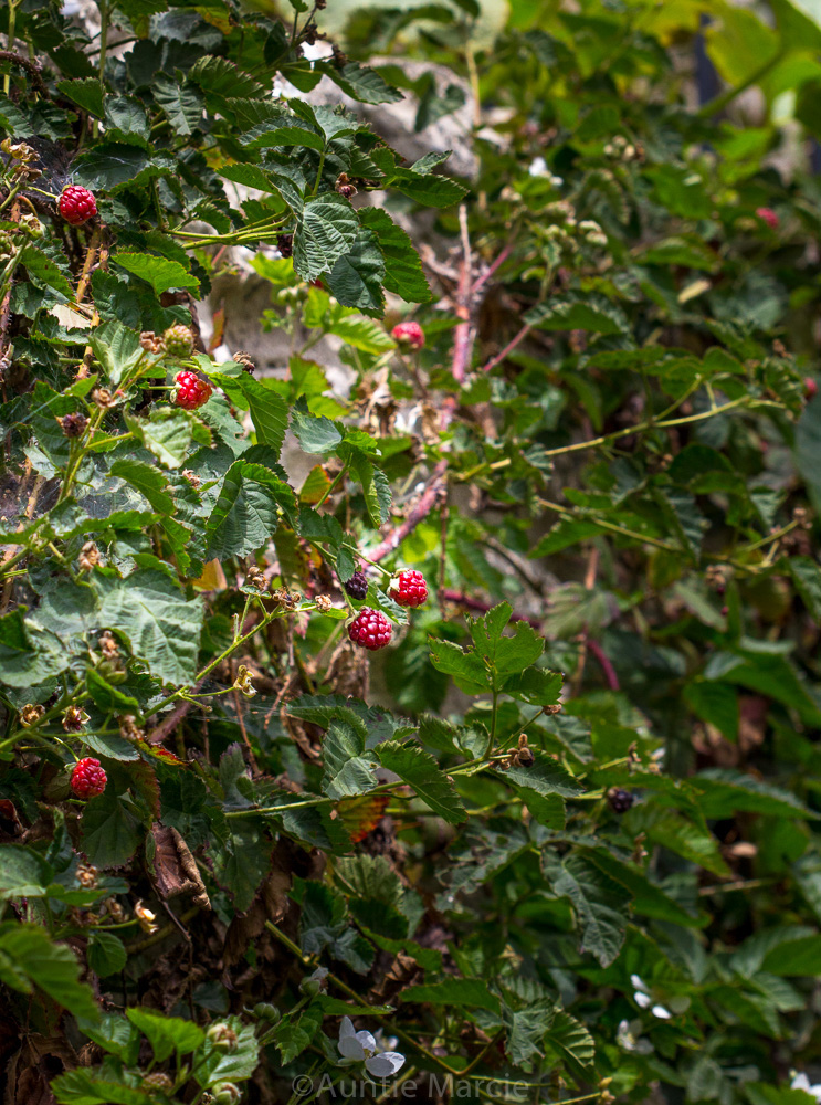 berries-on-vine.jpg