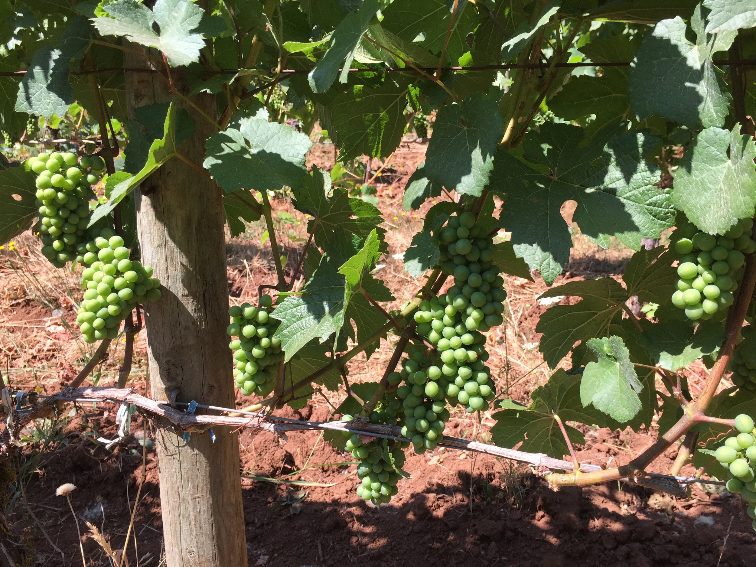 Oregon Pinot holding up nicely in the heat - July '15
