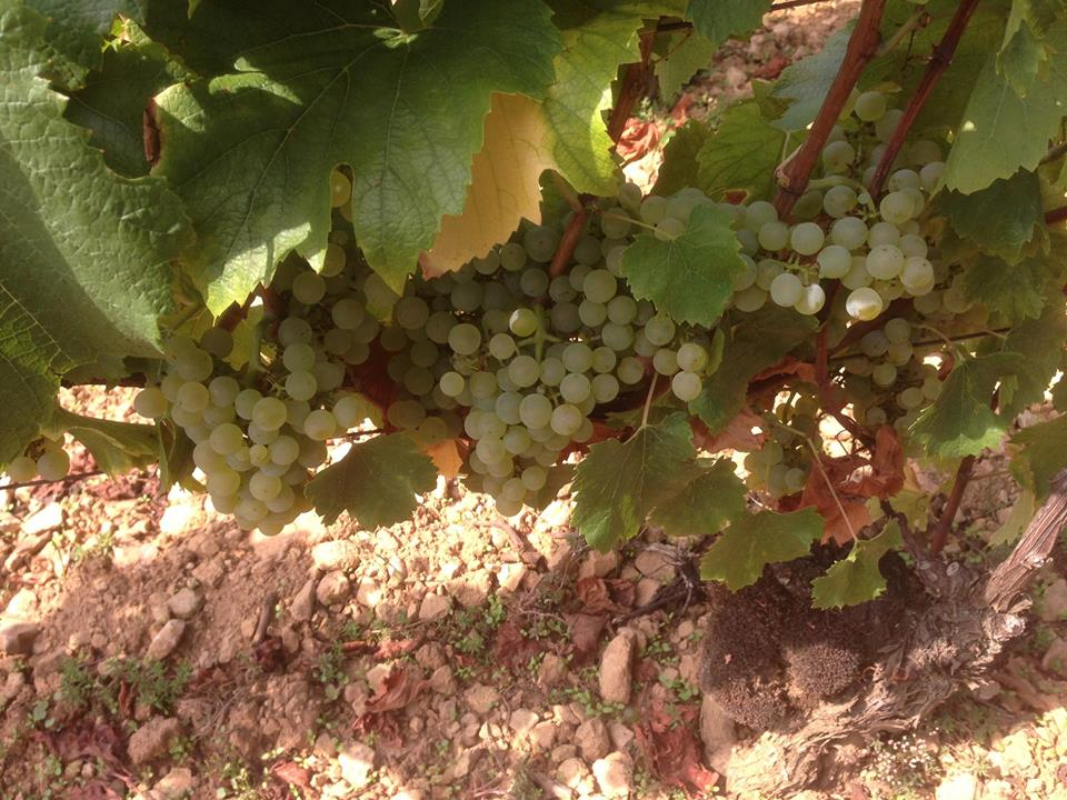 Chardonnay at Buisson-Charles in Meursault, getting close...