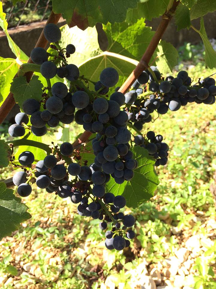 Gevrey-Chambertin, ripe for the picking at Domaine Marc Roy...