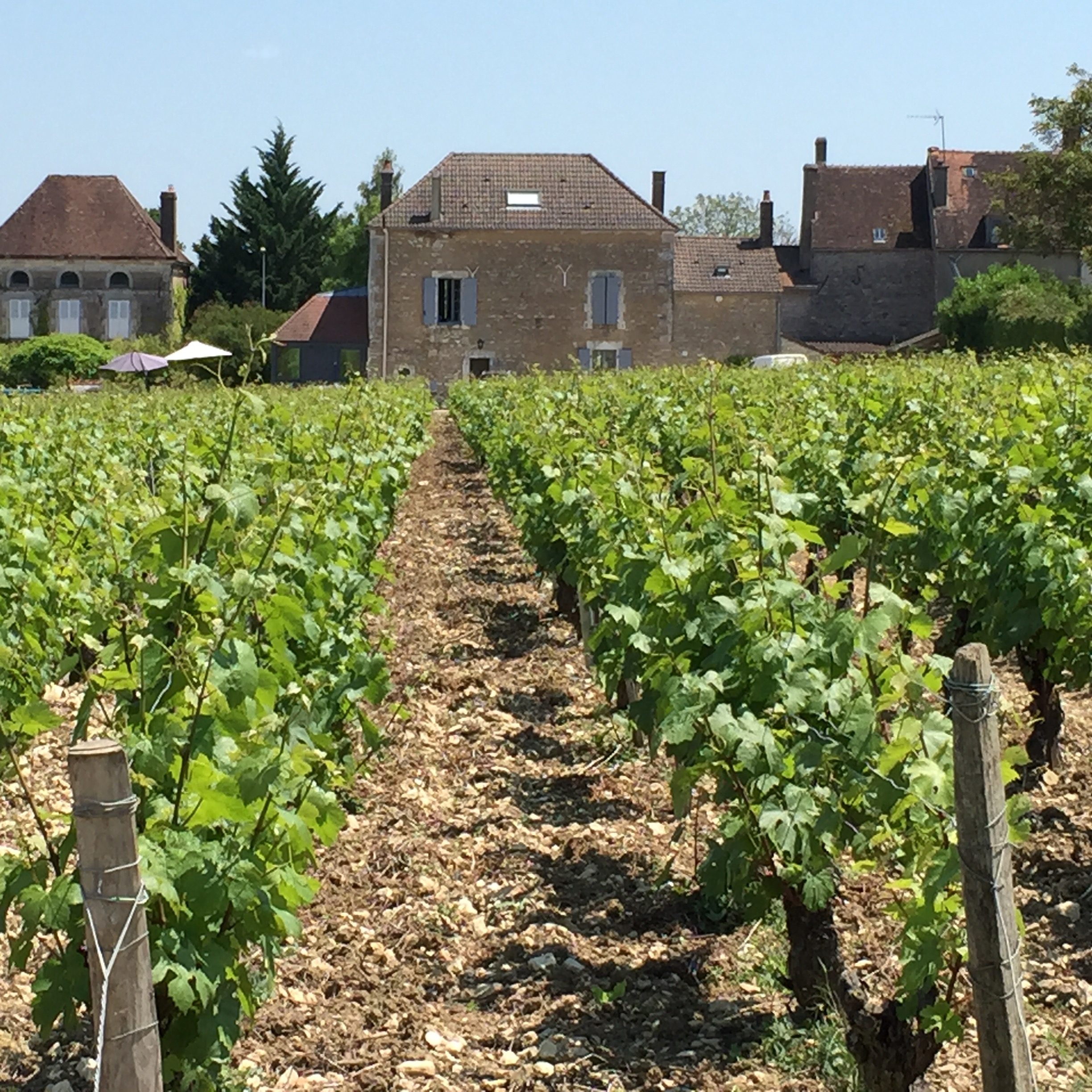 Vines in front of Domaine Gueguen, in the Chablisen village of Préhy