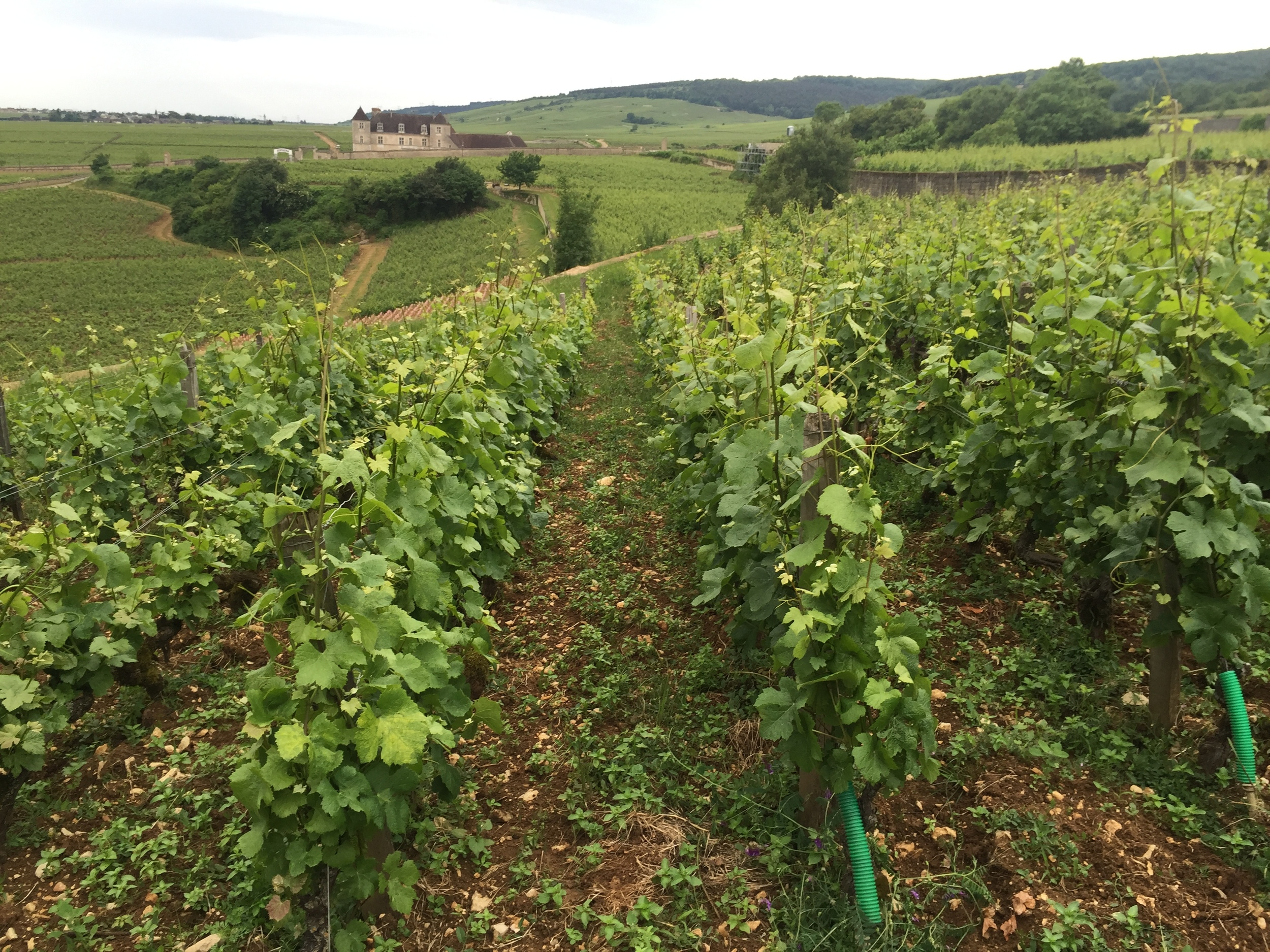 The center of my wine universe - Chambolle-Musigny les Amoureuses