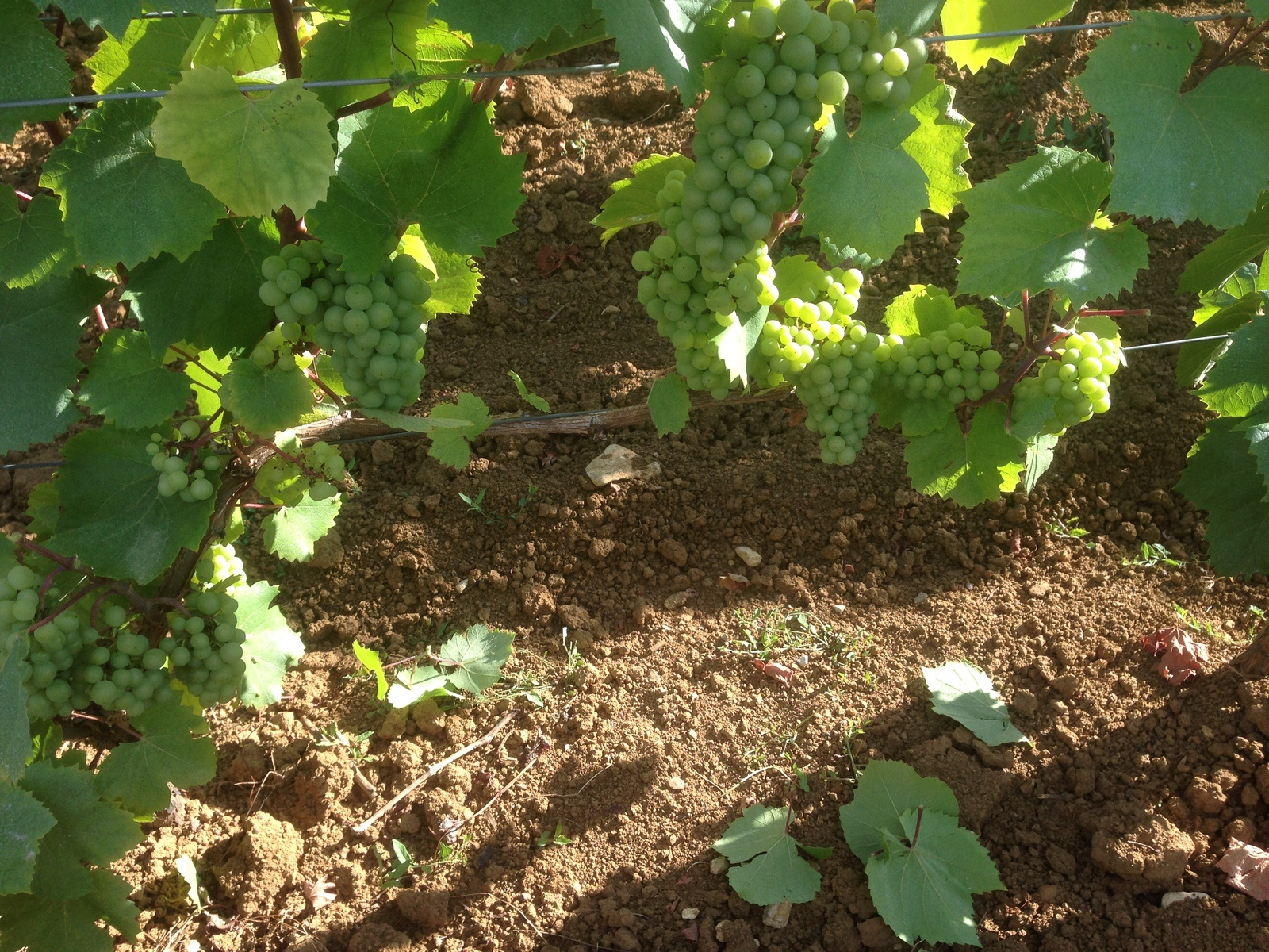 Chardonnay in Meursault, about 4-5 weeks away from harvest...