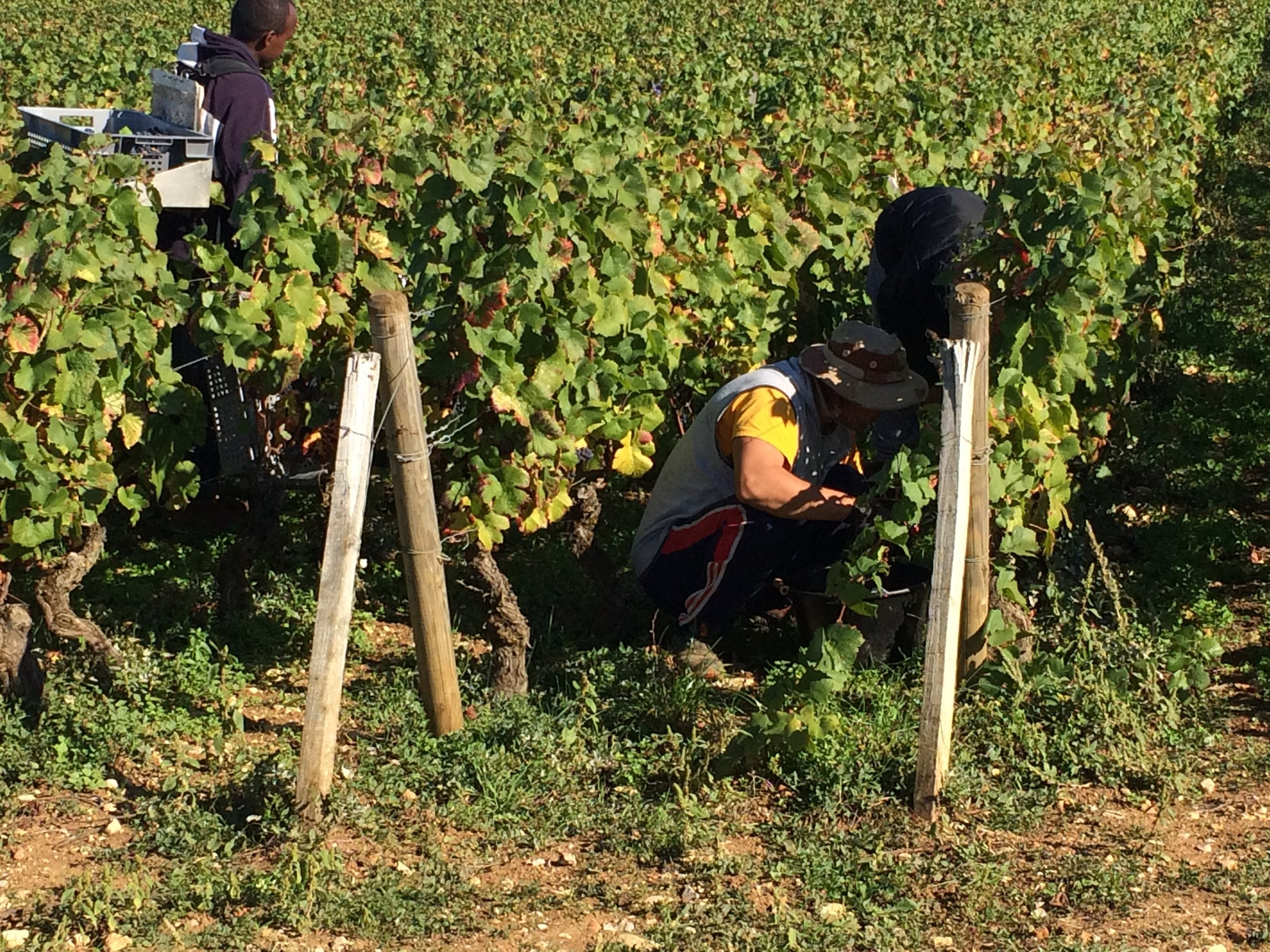 Les Vendangeurs at work today in Chambolle-Musigny