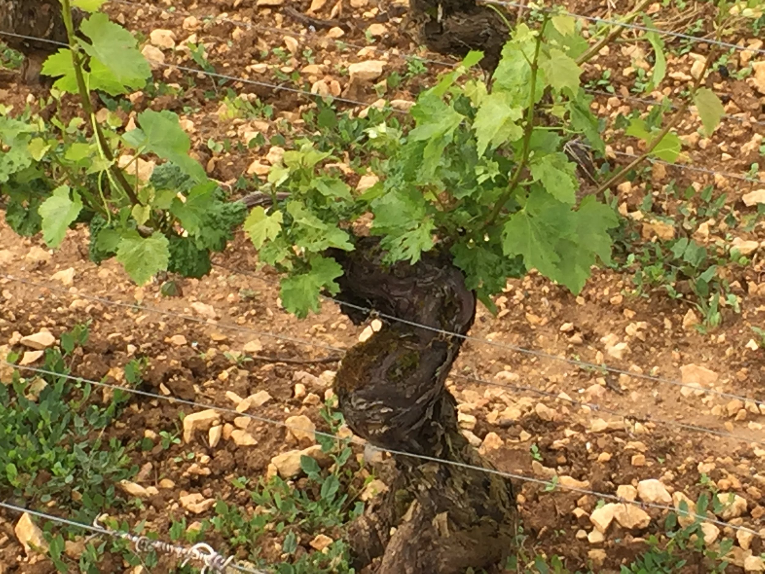 Frost-stunted vines in Volnay - May 2016