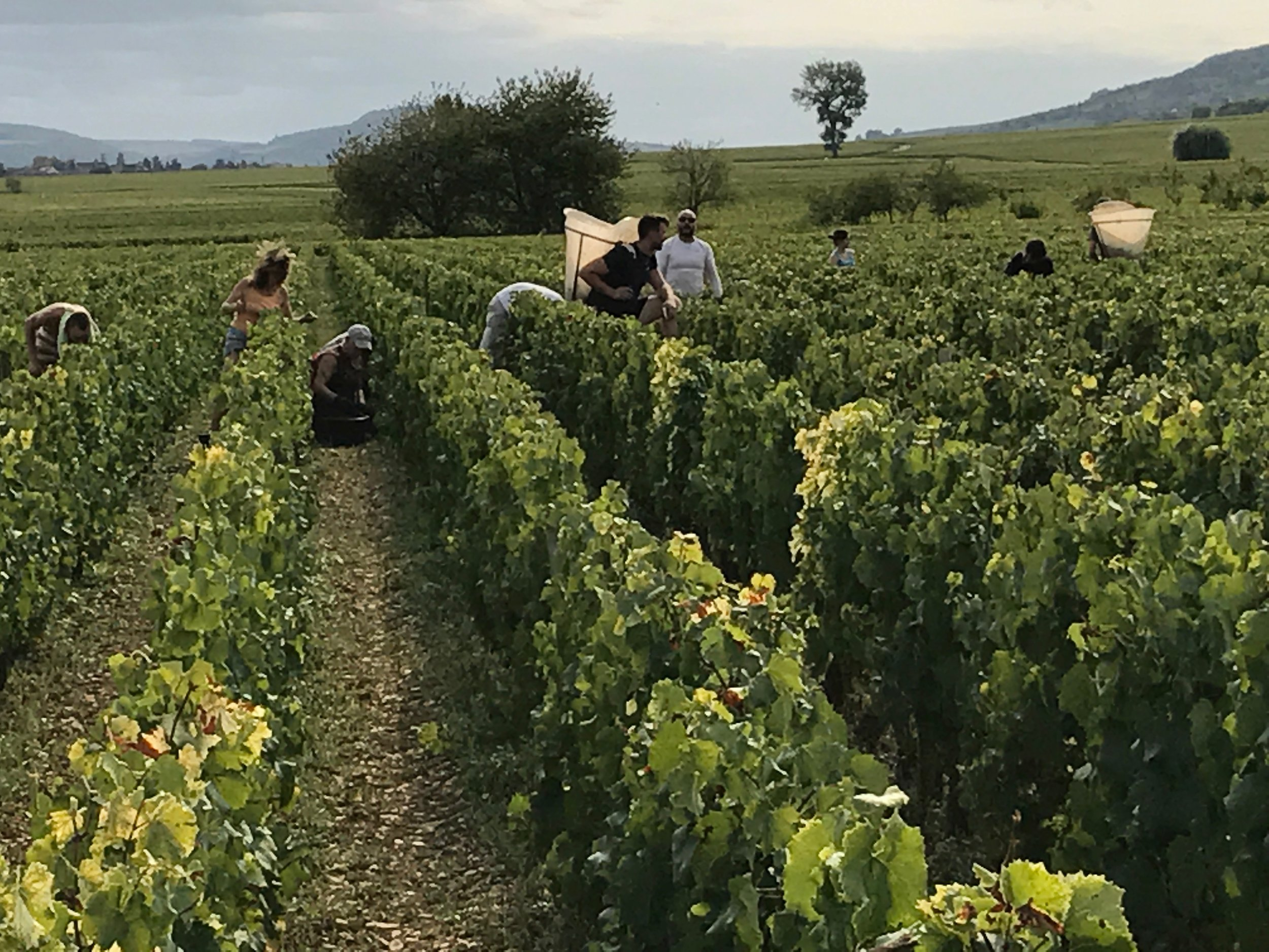 The  Buisson-Charles  crew harvesting in Meursault yesterday...