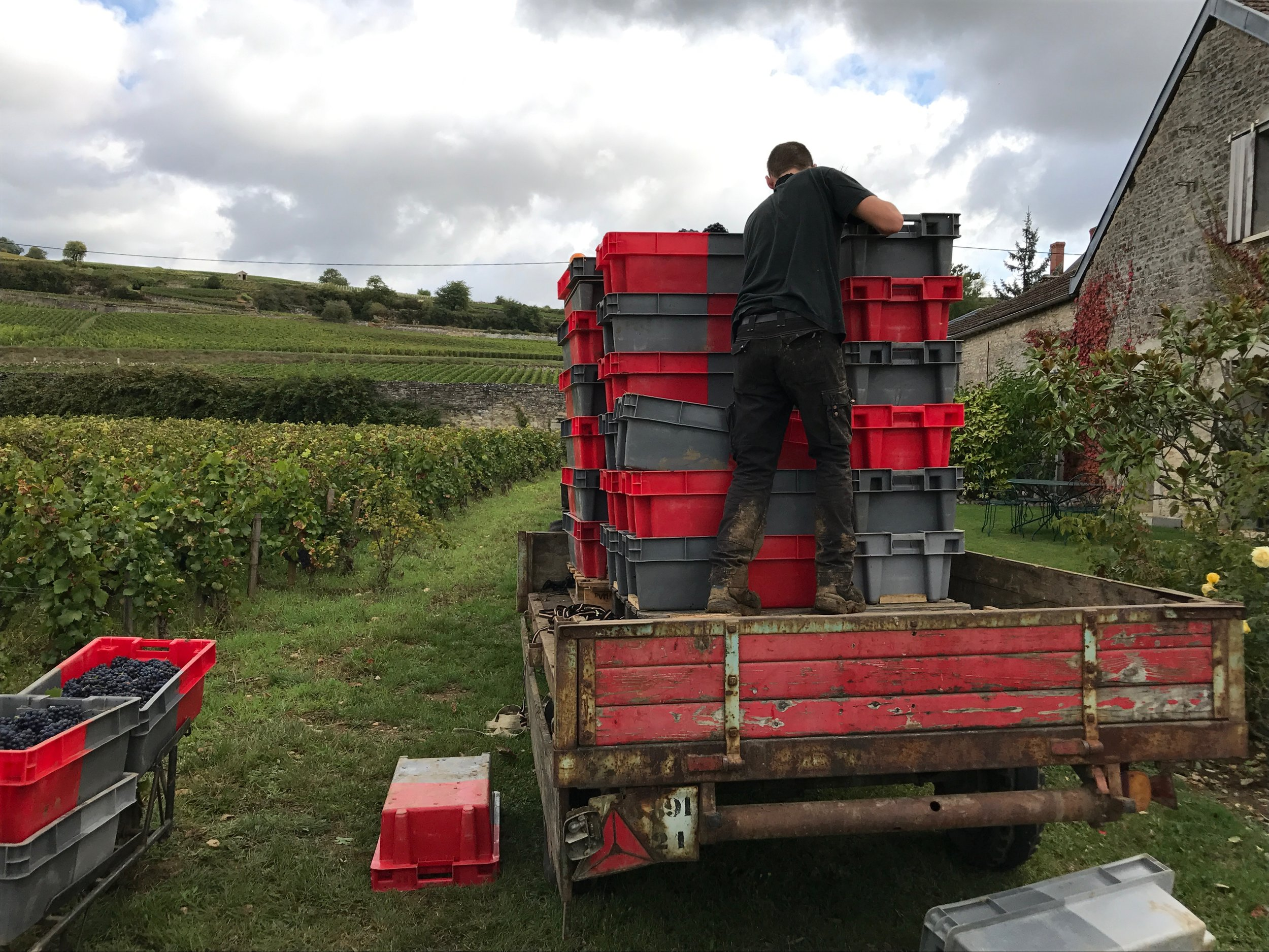 Loading  les caisses  in Clos du Colombier for their quick trip to the winery