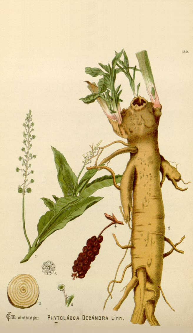 Illustartion of Polk Root