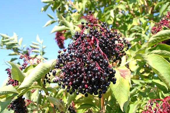 black-elderberry-sambucus-nigra.jpg