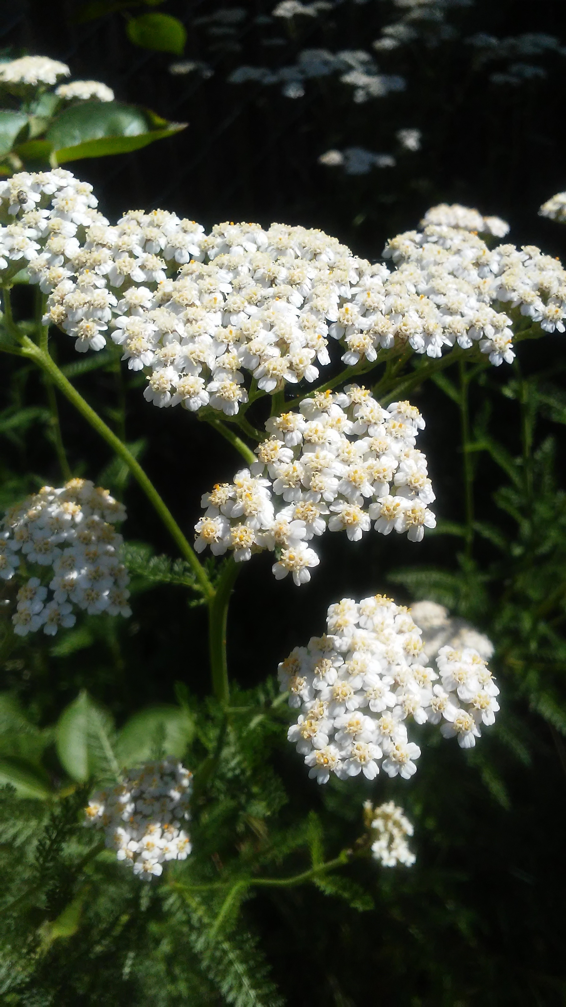 yarrow full bloom.jpg