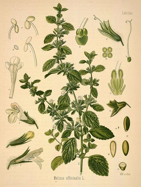 Lemon balm illustration.jpg