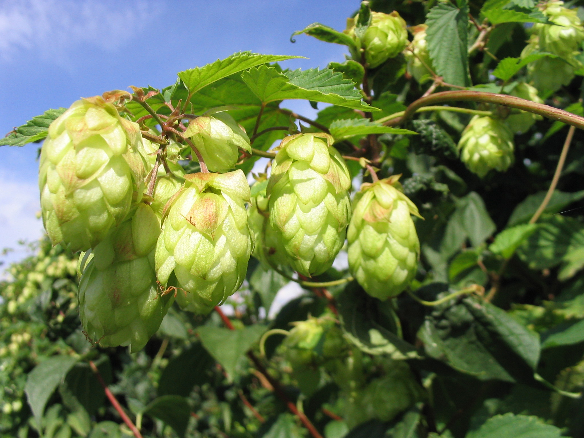 Photo: Hops (Humulus lupulus)  Courtesy: commons.wikimedia.org