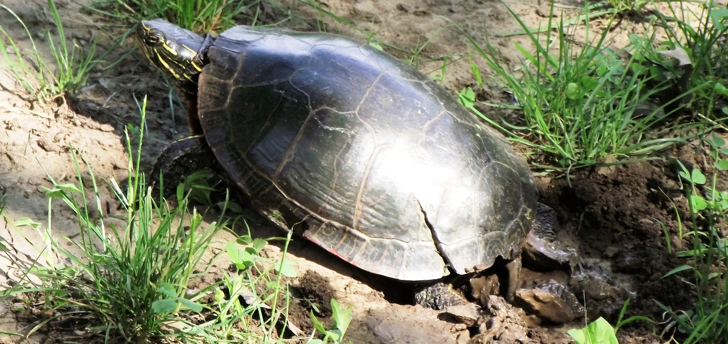 Female painted turtle ( Chrysemys picta ) digging a nest