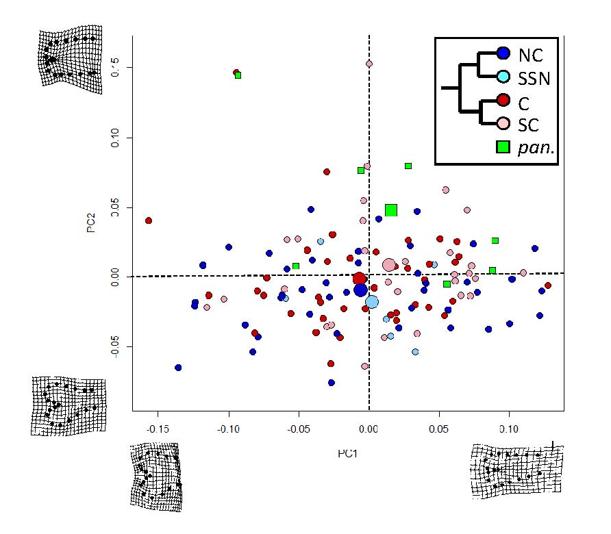 PCA plot of hemipene shape variation in 5 alligator lizard clades. Larger points are mean values.