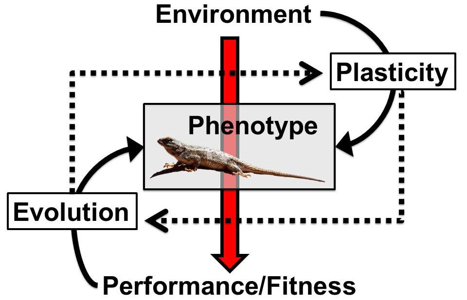 Figure 1—Schematic of the mechanisms driving responses to environmental change. Responses are mediated by the phenotypic tolerances of individuals (e.g., physiology, morphology, and behavior). Phenotypes are unlikely to remain static as environments change but will instead shift through evolution and plasticity. I use an integrative approach, combining experiment and modeling, to explore each arrow.