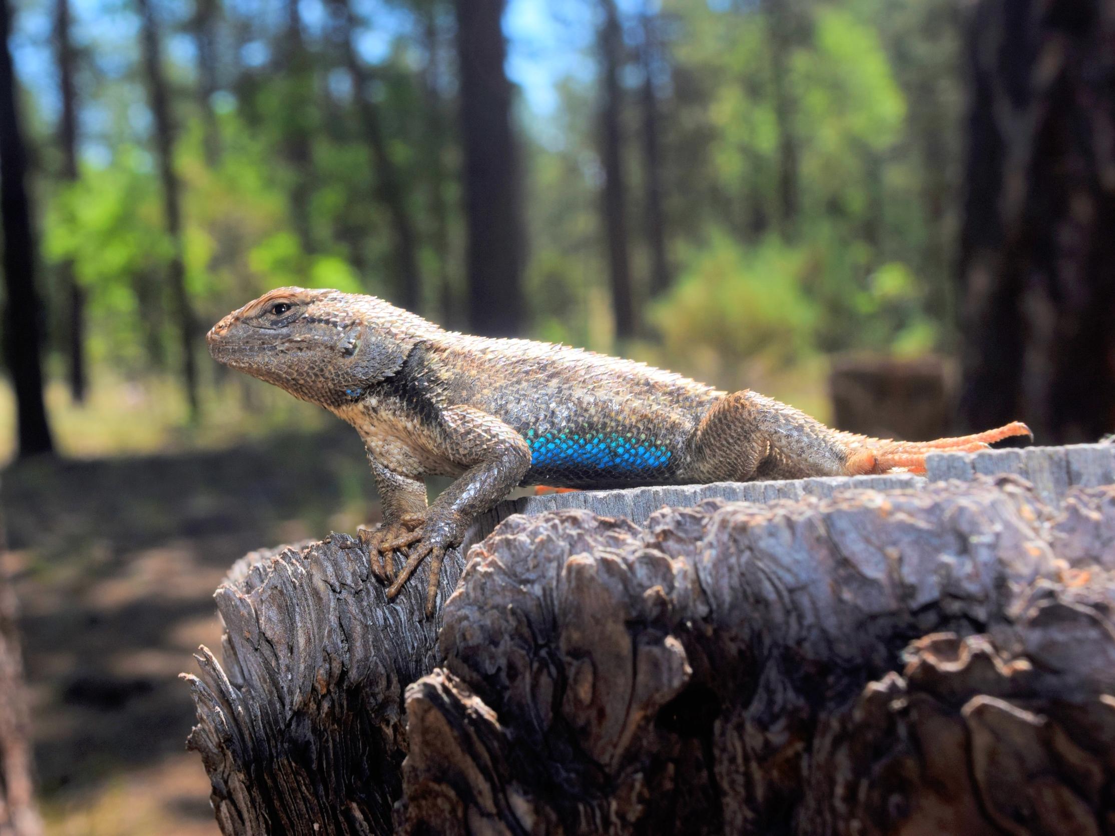 Male plateau fence lizard ( Sceloporus tristichus ). photo credit: A. Camacho