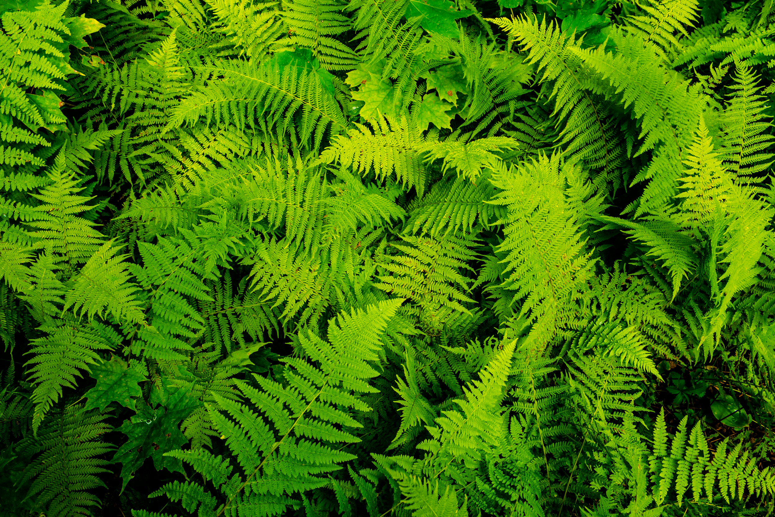 Ferns on the floor of a Vermont forest