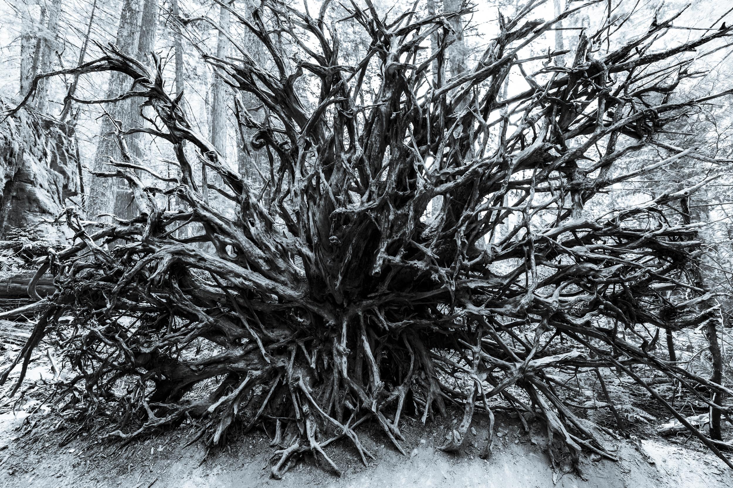 Roots of a fallen cedar tree in Glacier National Park that span nearly ten feet across