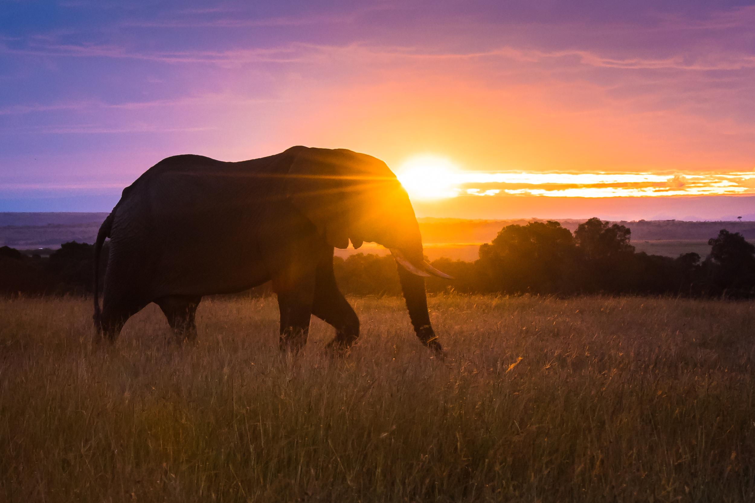 An elephant walks just as the sun comes up in the Maasai Mara, Kenya
