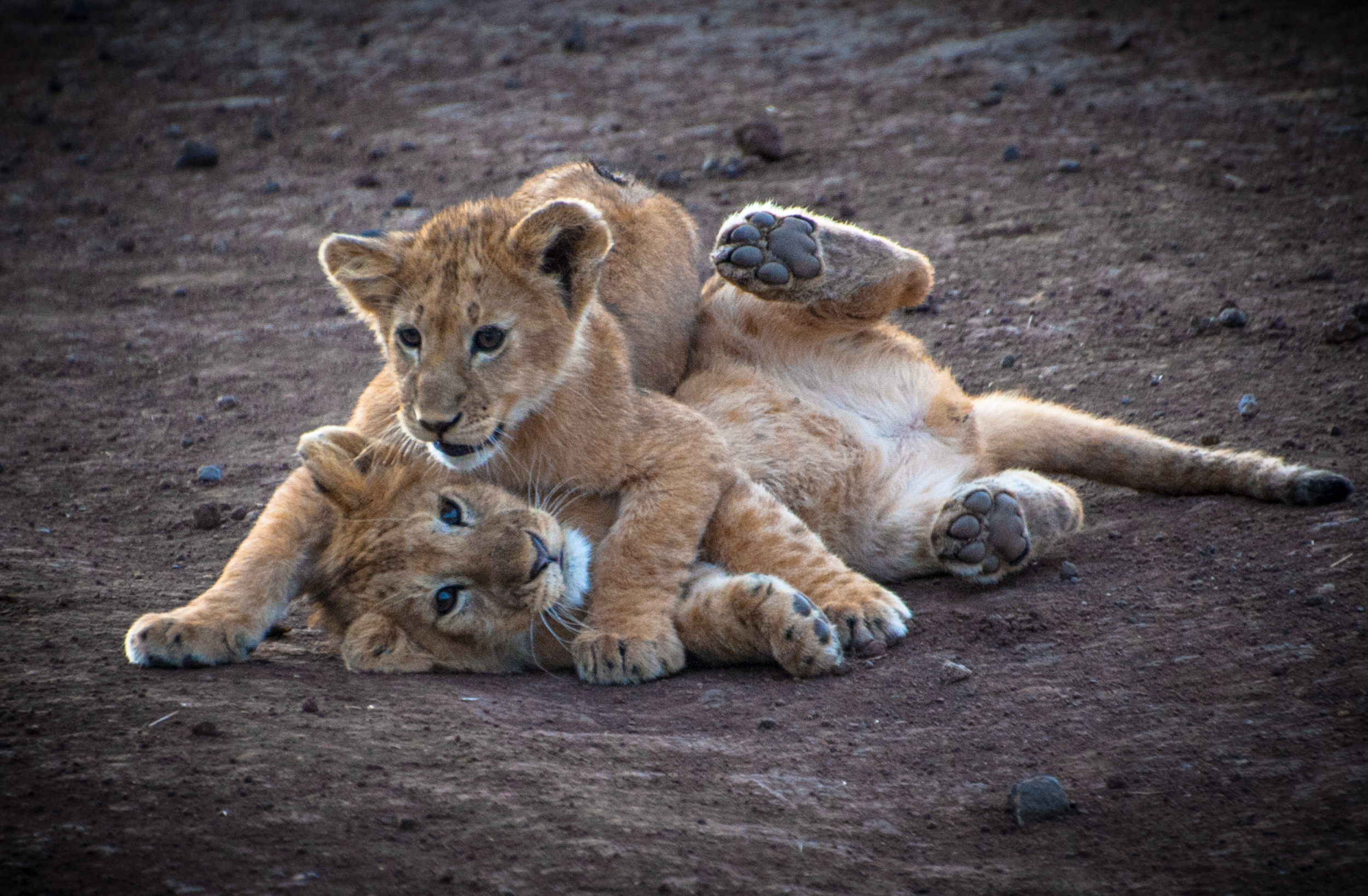 A pair of lion cubs wrestle in the Ngorongoro Crater in Tanzania
