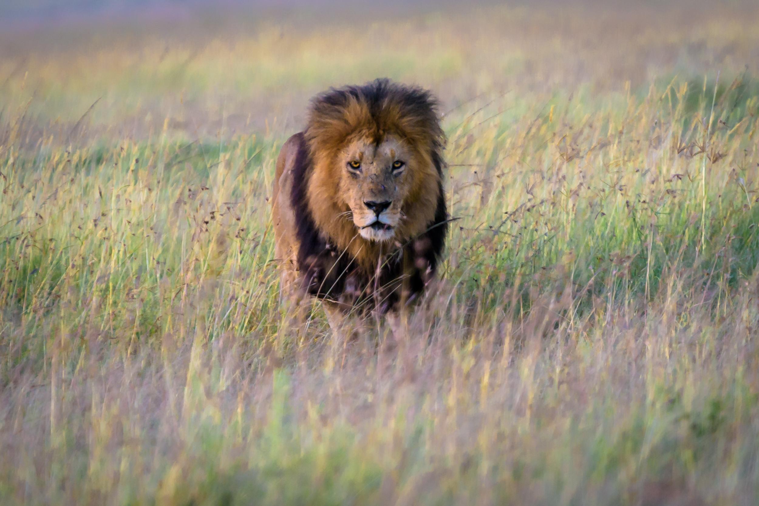 A male lion walks through the tall grass in the Maasai Mara, Kenya