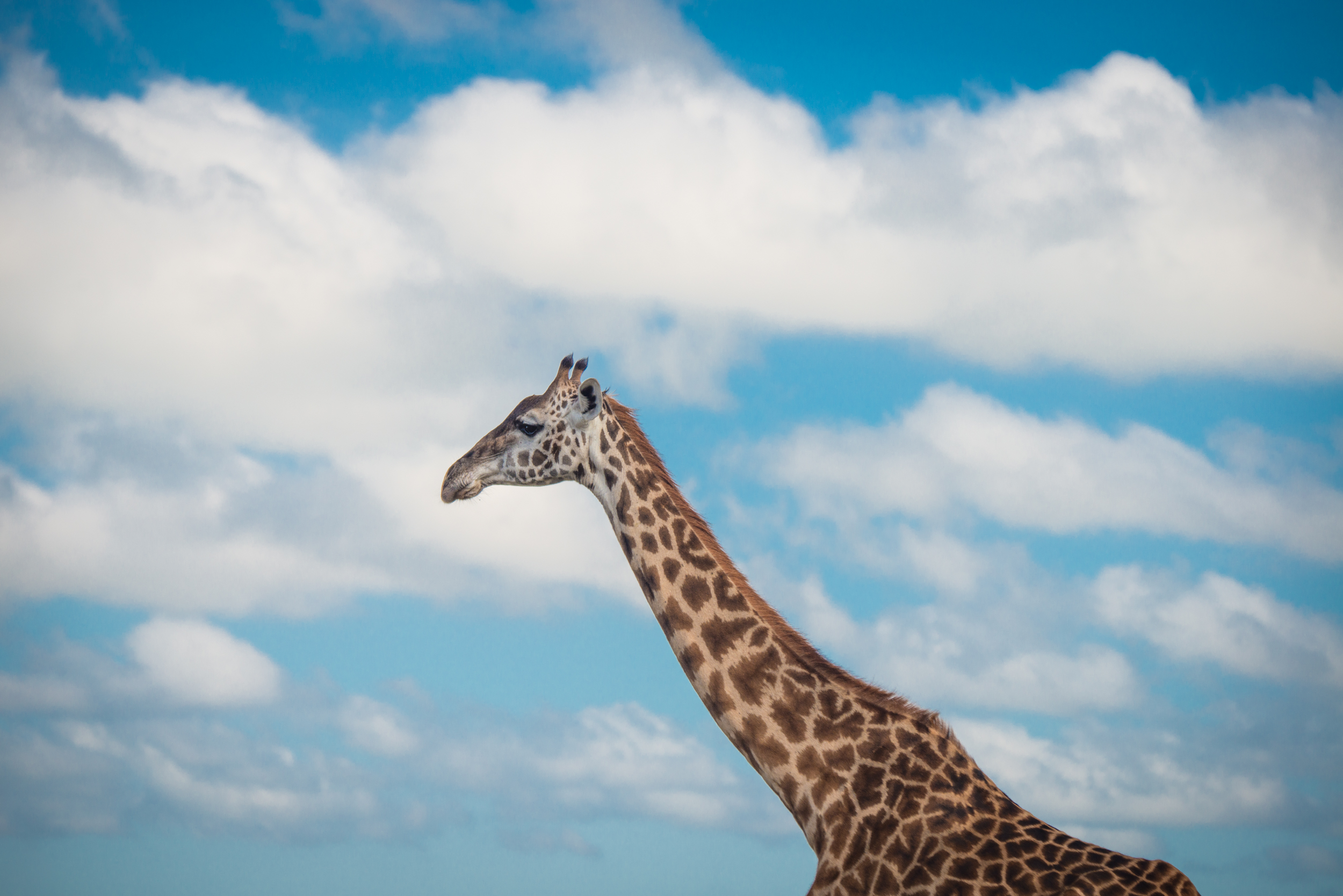The King on the Lookout.2500px.jpg