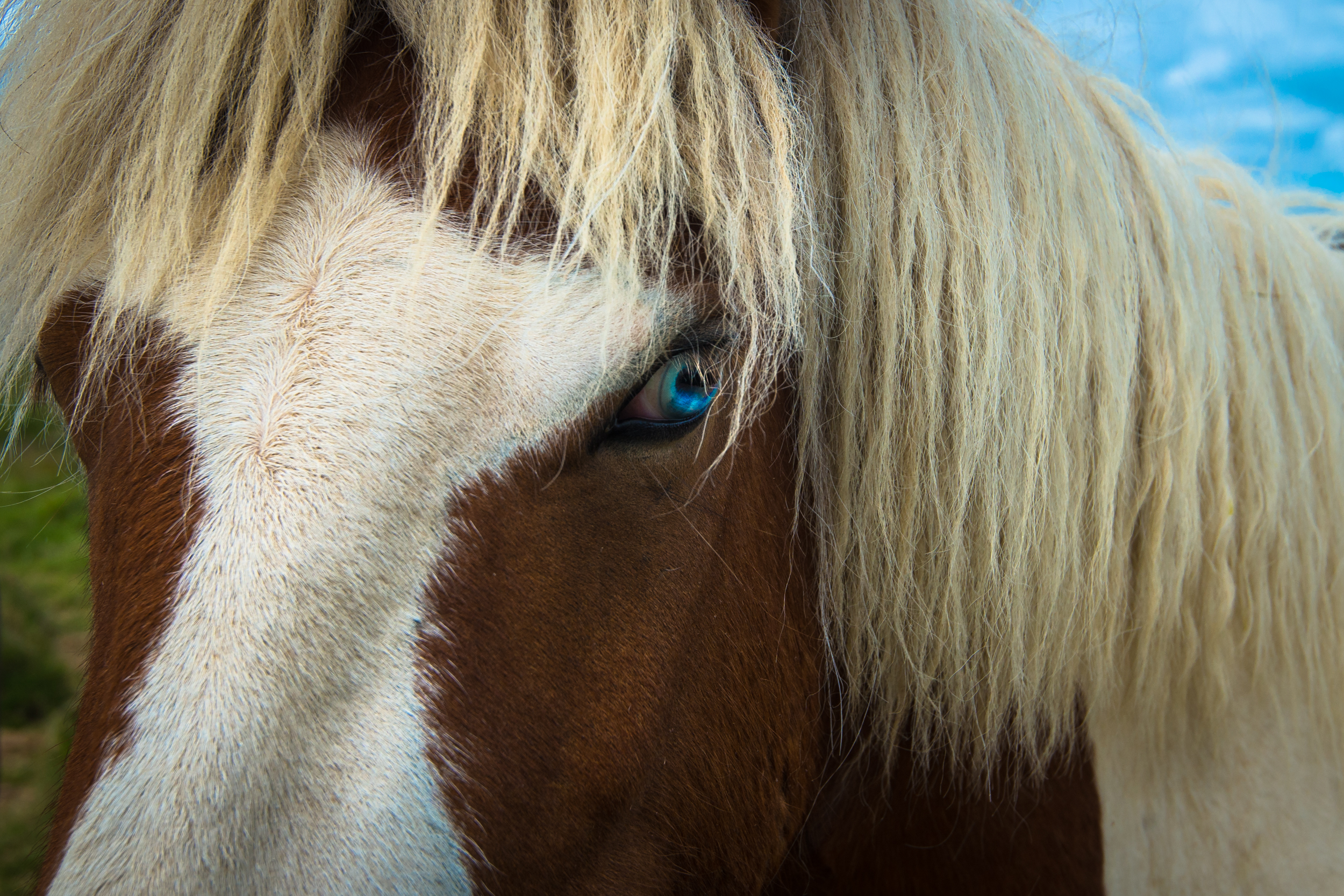 An Icelandic horse with beautiful blue eyes