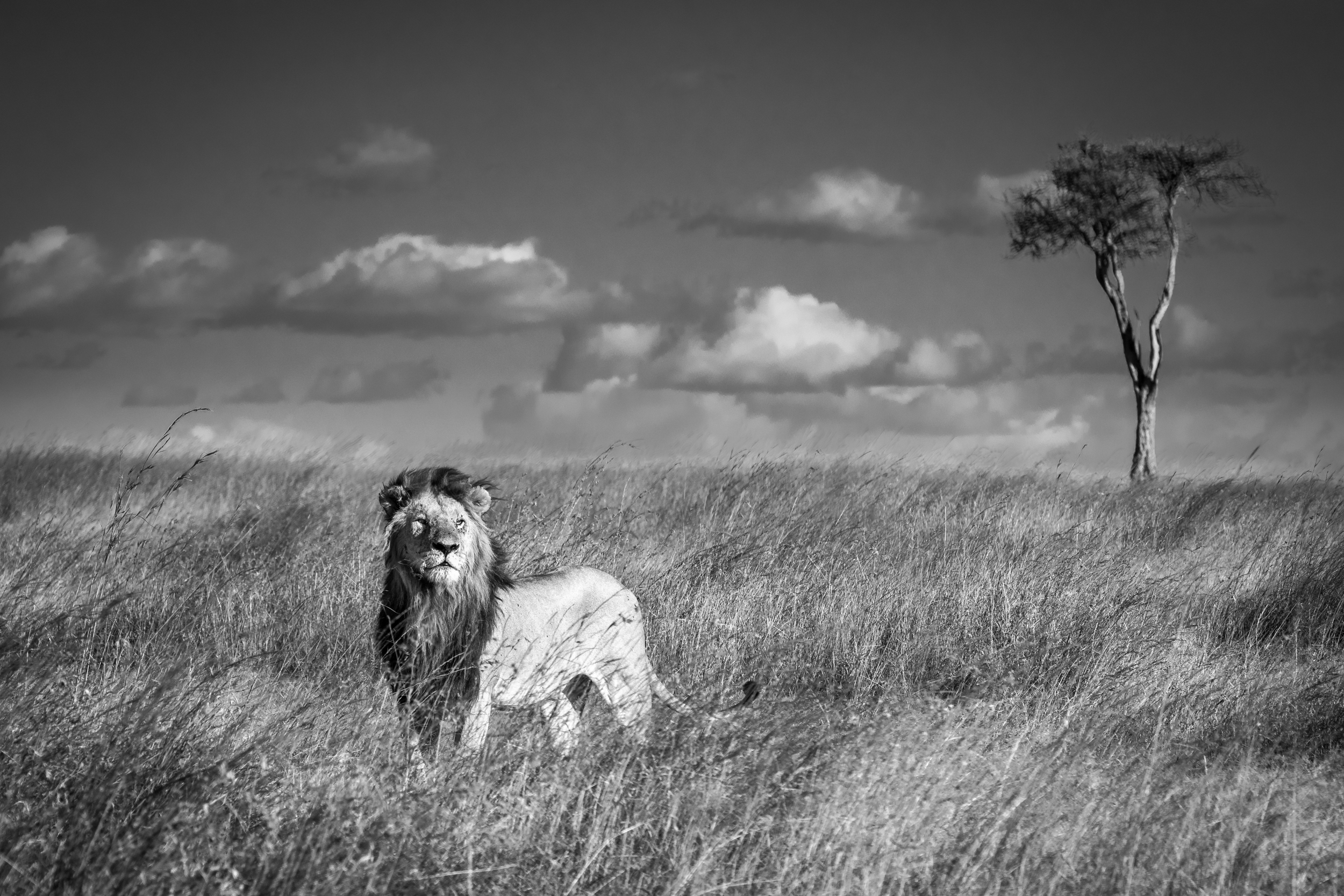 A male lion surveys the land in the Maasai Mara, Kenya
