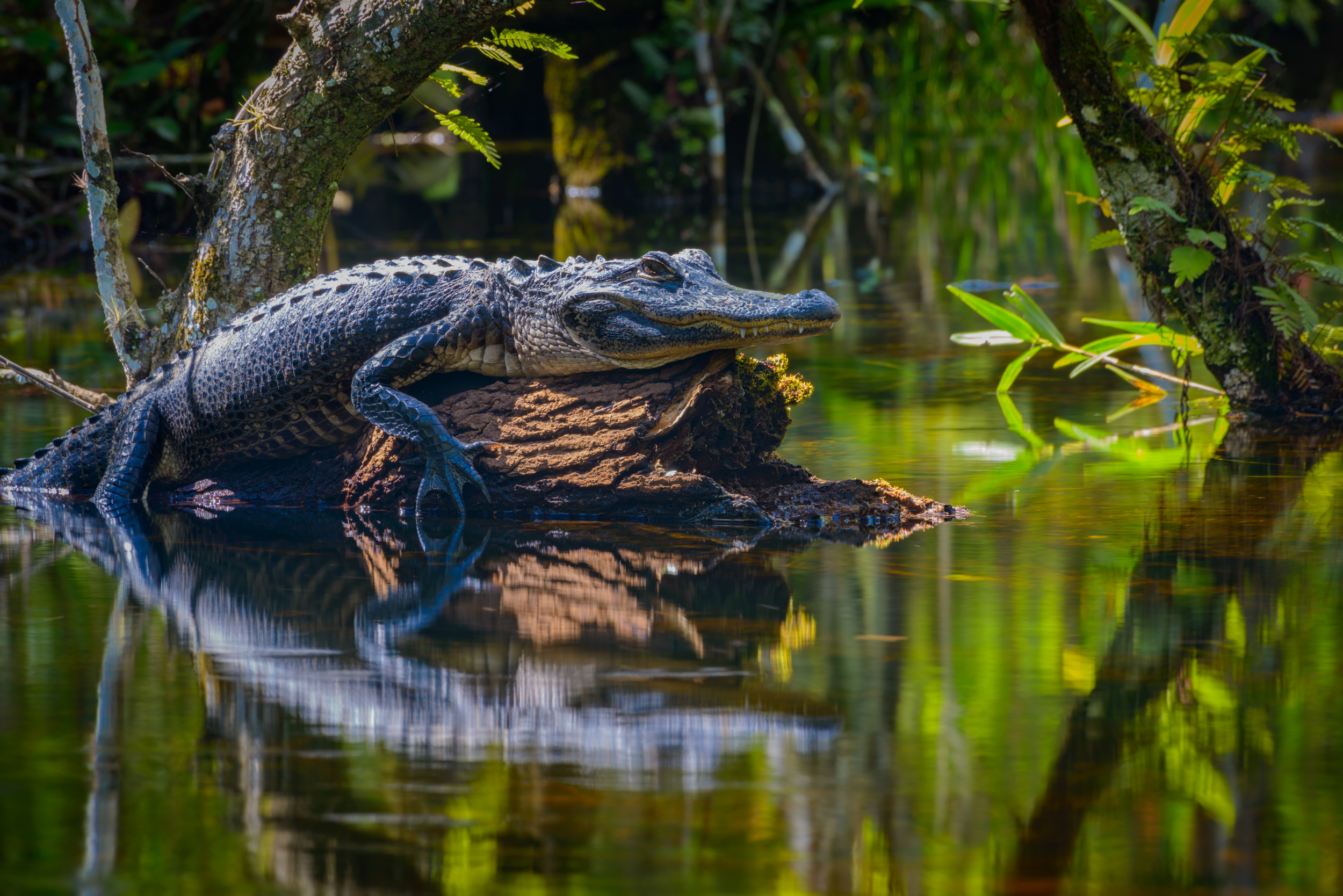 A small alligator catches some sun on a log in the swamp of Big Cypress National Preserve in Florida